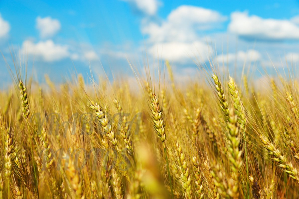 Golden wheat on field and clouds sky example image 1