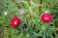 flowers Astra in the garden Product Image 1