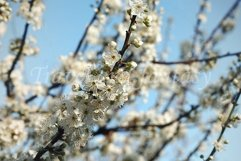 Natural floral background of a blooming fruit tree. Product Image 1