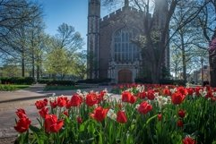Red tulips in front of Graham Chapel in St Louis Product Image 1