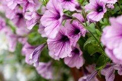 blooming pink Petunia Product Image 1