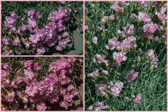 3 Pink Carnation Flowers Summer Photo Backgrounds Product Image 1