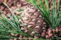 Cedar pine cone with pine fresh nuts close-up. Product Image 1