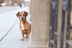 A dog, a mongrel, a dachshund alone on a city street Product Image 1