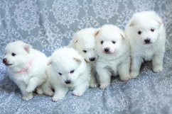 Photos of cute adorable fluffy white Spitz dog puppy Product Image 8