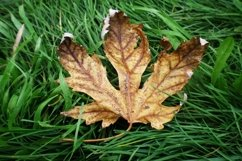 Autumn leaf on the green grass Product Image 1