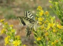 Swallow Tail Butterfly Product Image 1