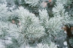Spruce branch covered with frost in winter Product Image 1