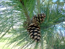 Pine Cone Photograph Product Image 1