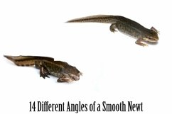 Smooth Newt 14 Photographs in Different Angles JPG Product Image 5