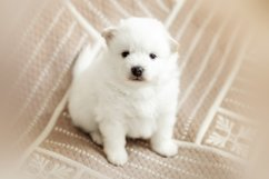 Photos of cute adorable fluffy white Spitz dog puppy Product Image 5