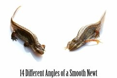 Smooth Newt 14 Photographs in Different Angles JPG Product Image 3