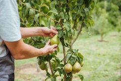 A male farmer picks pears in the garden Product Image 1