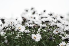 White flowers on a white background. Green grass. Product Image 1