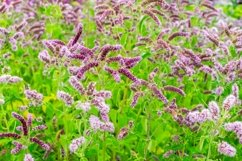 Meadow medicinal aromatic plant water mint. Product Image 2
