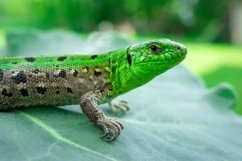 Green lizard in the grass Product Image 1