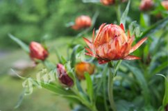 Golden Xerochrysum,Helichrysum bracteatum,Straw flower Product Image 1