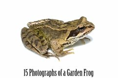 Common Garden Frog 15 Photographs in Different Angles JPG Product Image 3
