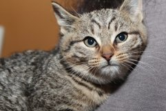 BEAUTIFUL TABBY KITTEN Product Image 1