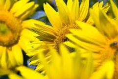 group sunflower in Europe Product Image 1