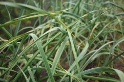 Stem of fresh garlic in the garden Product Image 1