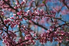 Eastern Redbud Blooms Product Image 1