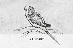Budgerigar, Parakeet parrot, bird illustration, vector & PNG Product Image 3