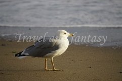 Portrait of a large sea gull on yellow sand. Product Image 1