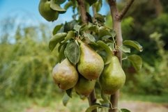 Closeup of green pears on a branch in an orchard Product Image 1