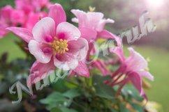 Pink aquilegia vulgaris/formosa of Ranunculaceae in garden Product Image 1