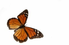 11 Butterfly Collection on White Background Lepidoptera Product Image 3