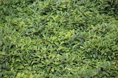 green leaves of wild grapes background Product Image 1