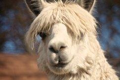 Alpaca 3 - Farm Animals Product Image 1