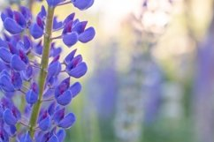 bright purple lupines Product Image 1