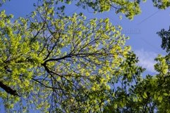 the top of green trees seen from below Product Image 1
