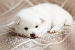 Photos of cute adorable fluffy white Spitz dog puppy Product Image 11