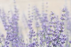 Delicate lilac lavender flowers in summer in the garden Product Image 1