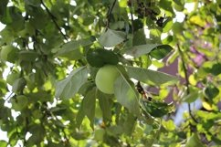 Green apples in the garden Product Image 1