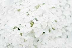 Background of white hydrangea flower in the summer Product Image 1