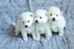 Photos of cute adorable fluffy white Spitz dog puppy Product Image 9