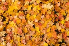 bed of colorful fall a leaves Product Image 1