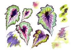 Nautilus-leaf begonia Watercolor png Product Image 1