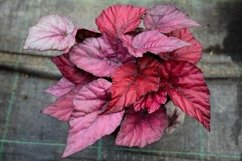 A begonia plant with dark pink leaves Product Image 1