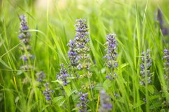 purple wildflowers on the meadow in summer Product Image 1