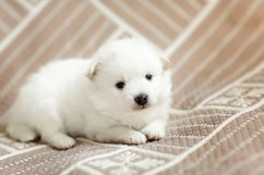 Photos of cute adorable fluffy white Spitz dog puppy Product Image 12
