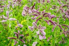 Meadow medicinal aromatic plant water mint. Product Image 1