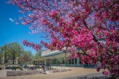 Redbud tree on campus Product Image 1