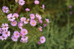 pink autumn flowers Aster novi-belgii in full bloom Product Image 1