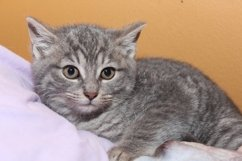 ADORABLE BROWN TABBY KITTEN Product Image 1
