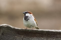 Passer domesticus on a branch Product Image 1